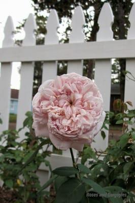 Roses and Gargoyles Gardenscapes