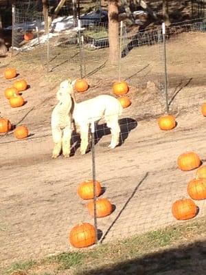 Peak Ranch Alpacas