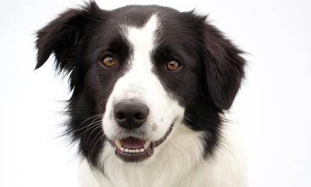 Doggy Dental