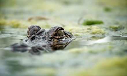 Cajun Critters Swamp Tours