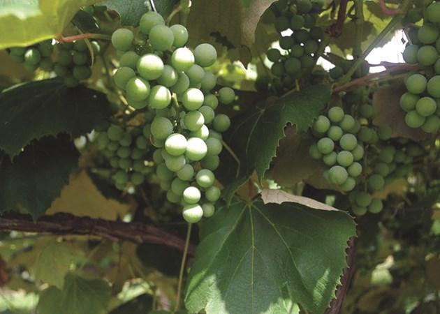 DelMonaco Winery & Vineyards