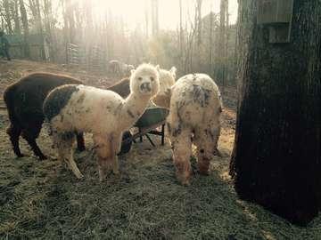 Happy Hills Alpaca Farm