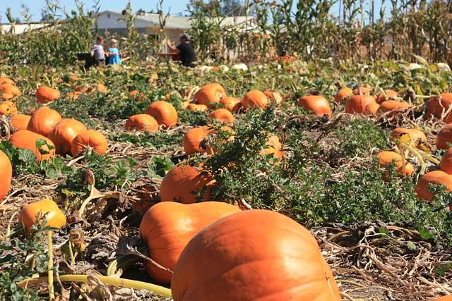 McClelland's Dairy Pumpkin Patch
