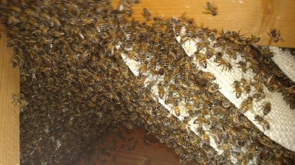 Kyle's Bees Bee Removal