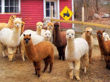 Bella Alpacas Farm and BB
